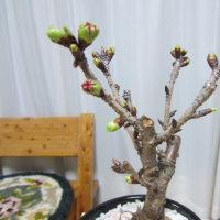 「ぼたもち」を作りました。  鉢植えの「桜」ももうすぐ開花