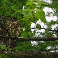 野鳥観察 アオバズク