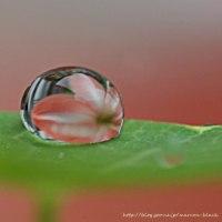 雨の日アマリリス