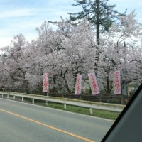 ようやく桜