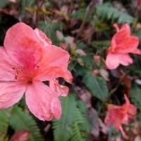 12月のヤマツツジの花。(12/1*木)