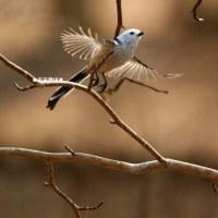 野鳥観察 シマエナガ特集12