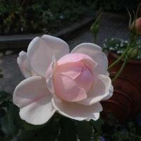 フラリエのバラ P3
