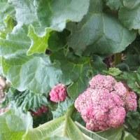 ルバーブの花摘み