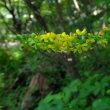 ホトトギス、コオニユリ、オウゴンユリ、ヤマユリベニスジ 季節の山野草