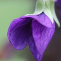 パンセの庭の花 5月18日 チゴユリ スミレ