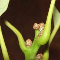 ウラジロミドリも産卵開始