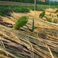 サトイモの植え付け(芽出し済み)