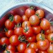 今年もトマトの収穫が始まったよ〜