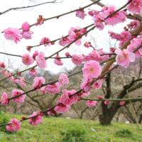 七折梅祭り