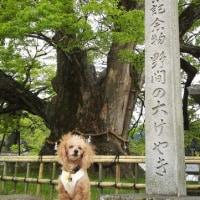 日本一のけやきの木♪