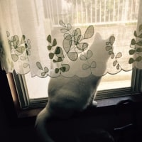 4月16日(日)のつぶやき 白猫 ミルコ cat ドリカム 晴れたらいいね 晴れたらいいニャ I hope it will be sunny.