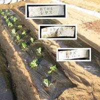 4月30日・レタスを定植しました!