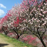 花桃の進行・・・・これからの天候でまた見頃が変わりそうです。