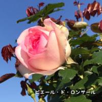 そらきらガーデン バラが咲いたよ!