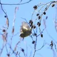 枝から枝へ飛び移る、マヒワ。