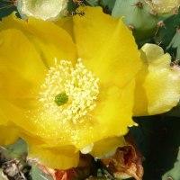 ウチワサボテンの花