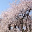 桜咲く 府中大魔神