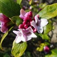 チンチョウゲの花が咲き始めた