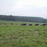 大山の牛たち
