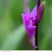 シラン 〈紫蘭〉