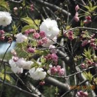ボタン桜開花