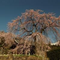 光前寺しだれ桜。