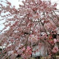 枝垂れ桜はもう満開~!!? 2017.03.29