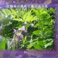 『 空梅雨の狭庭に藤の返り花 』つれづれ575qt2606