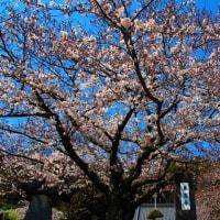 『大磯の桜』 東昌寺
