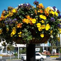 函館駅前花いっぱい…春花壇・・・今年はチューリップがずらり
