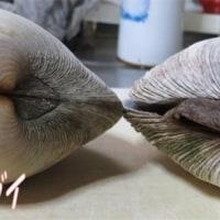 ホンビノスガイ(海のビーナス、おおはまぐり)・・・ウチムラサキ(おおあさり)と貝の比較