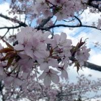 北上市・極楽寺のオオヤマザクラ(大山桜) 2017年4月28日(金)