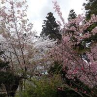 寒河江桜まつりと天童市イルチェーロ