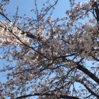 桜も咲き始めました