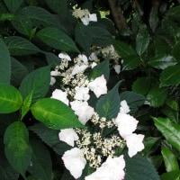 空の色は白っぽい。アジサイの花の色のいろいろ。
