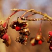 冬芽カントウマユミ