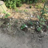 すずめの砂風呂と、小さな畑と、すずめのひなー私の庭の風景ー福の姿