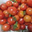 〝プチぷよ〟ミニトマトが甘い・・・・