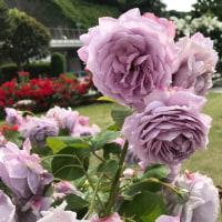 薔薇を見ながら公園散策