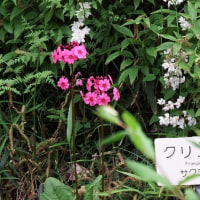 クリンソウ(九輪草)