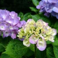 町田えびね苑で紫陽花