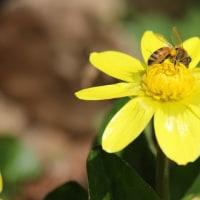 ミツバチとヒメリュウキンカ