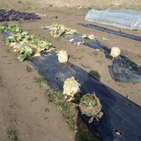 冬野菜の収穫はほぼ終了