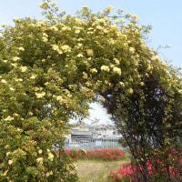 モッコウバラと藤の花