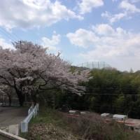 駅前桜2017