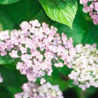 紫陽花の季節に
