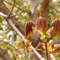 冬芽の観察79・トチノキ2