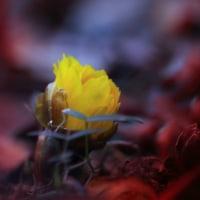 寒さ厳しい中福寿草の花は豪い