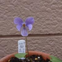 スミレの育て方3月 スミレの花を楽しむ  日本スミレの開花5番・6番目もコスミレ